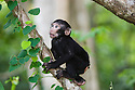 Baby crested black macaque in tree, (Macaca nigra), Indonesia, Sulawesi; Endangered species, threatened through loss of habitat and bush meat trade, species only occurs on Sulawesi.