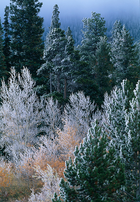 Heavy frost covers conifers and fall-colored aspen (Populus tremuloides), Rocky Mtns, CO