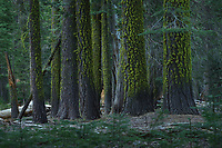 Red Fir (Abies magnifica), Yosemite National Park, California, USA