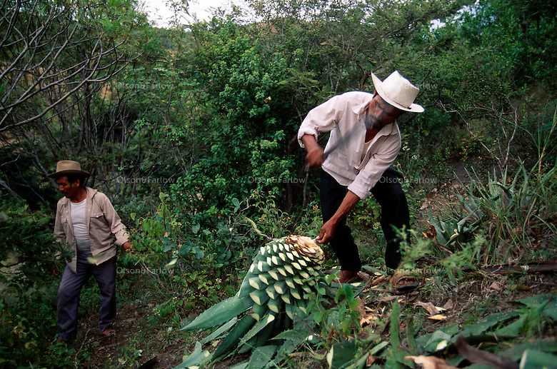 Working on a steep hillside, men collect wild agave in rural Oaxaca where 80% of the mescal is made in Mexico. They produce 1,000 liters a month at a small factory. The cut 8 year old wild maguey instead of planted with machetes they wear on their belts.