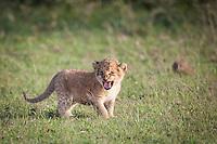Little lion cub standing in short grass growling his defiance in the Masai Mara Reserve, Kenya, Africa (photo by Wildlife Photographer Matt Considine)