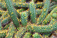 Cactus covered in Palo Verdi blossoms. Arizona-Sonora Desert Museum. Arizona