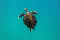 Schildkröten im Wasser beim Schnorcheln am Browns Beach am Carlisle Bay in Barbados - 16.01.2018: Schnorcheln auf Barbados mit der MSC Fantasia