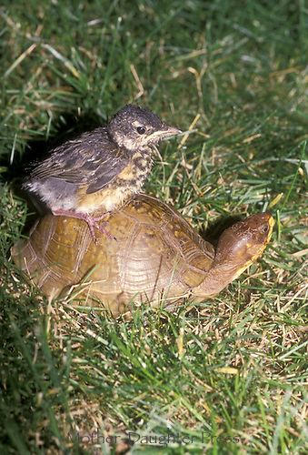 Robin fledgling rides the back of an ornate box turtle head up looking around, places to go