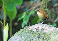 Yellow-breasted antpitta, Grallaria flavotincta, at Refugio Paz de las Aves, Ecuador