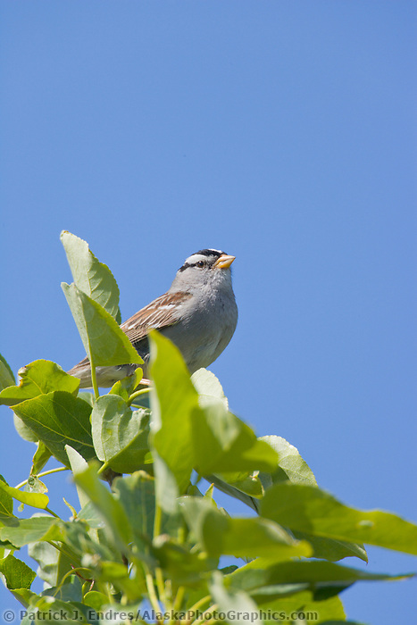 White-crowned Sparrow perched in a willow tree, Denali National Park, Alaska