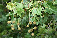 London Plane Platanus x hispanica Platanaceae Height to 44m. Deciduous tree with tall trunk and spreading crown. Bark Grey-brown, flaking in patches. Branches Tangled and twisted. Leaves To 24cm long, 5-lobed, palmate. Reproductive parts Flowers rounded, in clusters. Greenish, spherical fruits have spiky hairs. Status Widely planted hybrid in towns and cities.