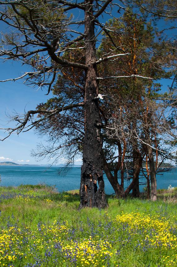 Burned Out Tree Trunk, Yellow Island, San Juan Islands, Washington, US