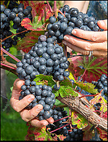 BNPS.co.uk (01202 558833)<br /> Pic: PhilYeomans/BNPS<br /> <br /> Black 'Rondo' grapes.<br /> <br /> Lovely bubbly - 'Perfect' summer for Briish wine.<br /> <br /> Britain's vintners are preparing themselves for a record harvest this year after the hot dry summer has led to huge crop of flavoursome grapes.<br /> <br /> Rebecca Hansford, who runs the Furleigh Estate vineyard with her husband Ian Edwards, said they average about 50,000 bottles of wine a year but this year they are expecting to make more than 100,000.<br /> <br /> And it's not just quantity, the high temperatures have also led to a better quality fruit which should produce a better tasting wine.