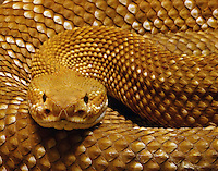 Crotalus basiliscus is a venomous pitviper species found in western Mexico.