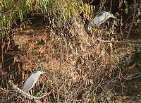 Black-crowned Night Herons, Nycticorax nycticorax, at Colusa National Wildlife Refuge, California