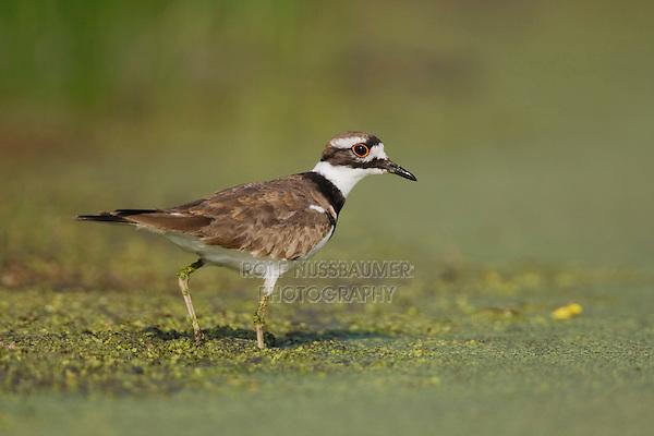 Killdeer (Charadrius vociferus), Sinton, Corpus Christi, Coastal Bend, Texas, USA
