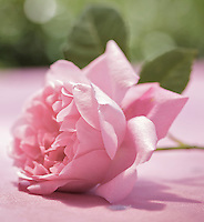A pale pink rose rests on a tablecloth on a garden table in summer