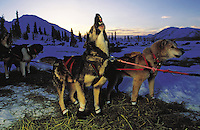 Excited sled dogs are eager to depart from a checkpoint in the Iditarod race. Rainy Pass, Alaska.