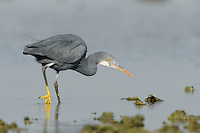 Western Reef Heron - Egretta gularis Similar to Little Egret but with proportionately larger bill. Occurs in two distinct plumage forms: dark blue-grey or white. Both have dark legs with bright yellow feet.