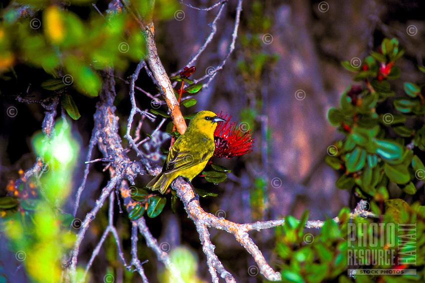 Common amakihi (hemignathus v. virens) male at ohia flower on Big island