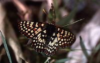 CHALCEDON CHECKERSPOT BUTTERFLY