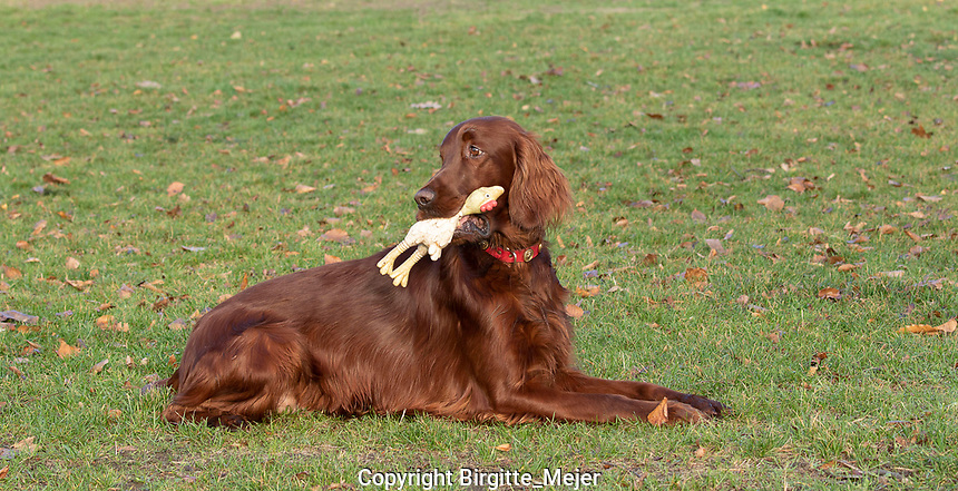 Irish Setter with dog toy in the mouth