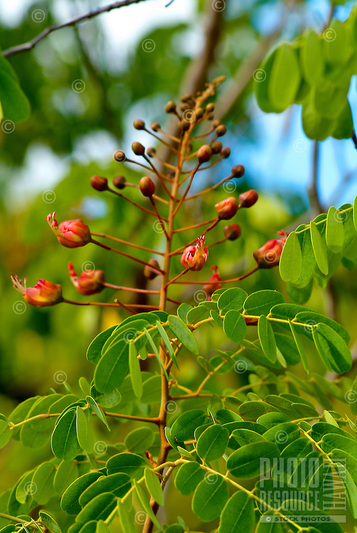 Endemic and endangered plant, uhiuhi    (Fabaceae :†Caesalpinia kavaiensis ) at the Urban garden in Pearl city, Oahu