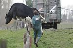 Foto: VidiPhoto<br /> <br /> ROSSUM &ndash; Koeien vangen kan iedereen, maar hoe vang je de laatste? Het kostte melkveehouder P. Liebrecht en zijn familie uit het Gelderse Rossum maandag de nodige moeite om zijn laatste acht droge koeien en jongvee naar binnen te halen. Vooral de laatste twee hadden bepaald geen zin om naar de warme stal gebracht te worden. Een van de twee wist zelfs als een volleerd springpaard de afrastering te nemen. Tot overmaat van ramp brak er ook nog eens een hoosbui uit. Uiteindelijk wist de familie de lastposten in te sluiten in de veewagen te loodsen. Liebrecht heeft in totaal 130 melkkoeien en 80 stuks jongvee. Die staan inmiddels allemaal op stal.