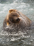 A brown bear shakes off excess water after fishing in Katmai National Park.