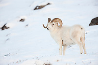 Dall sheep full curl ram stands in the snow along the Brooks range mountains in Atigun canyon.