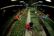 Wasco, Oregon, January 1984: Disciples of Bhagwan Rajneesh gathering vegetables in from the greenhouses in Rajneeshpuram. The disciples were vegetarian and grew their own vegetables. Rajneeshpuram, was an intentional community in Wasco County, Oregon, briefly incorporated as a city in the 1980s, which was populated with followers of the spiritual teacher Osho, then known as Bhagwan Shree Rajneesh. The community was developed by turning a ranch from an empty rural property into a city complete with typical urban infrastructure, with population of about 7000 followers.
