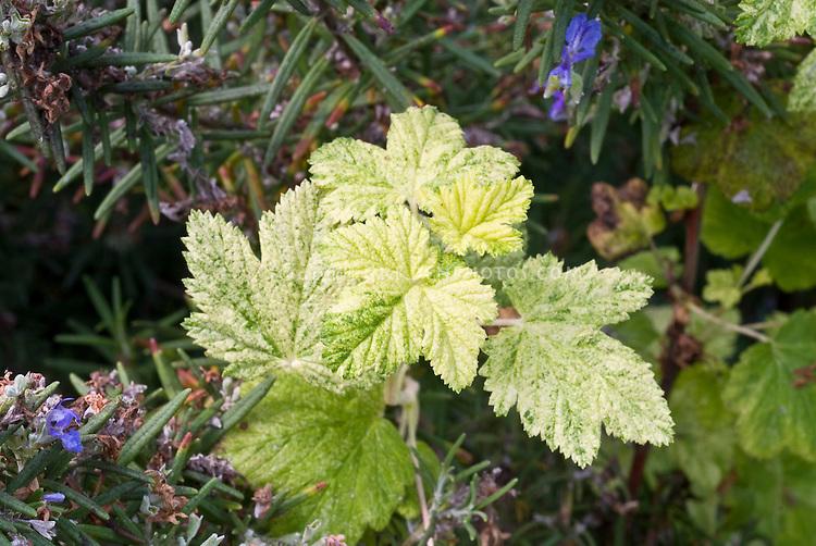 Ribes sanguineum var. variegata, flowering currants variegation in leaves foliage