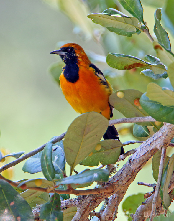 Adult hooded oriole
