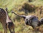 ostrich pecking at giraffe young