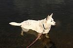 White shepherd type dog in water.