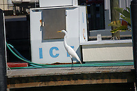 White Heron/Crane on commercial dock near ice machine and fuel pump. On intercoastal waterway near St. Petersberg Florida. Spring 2007.