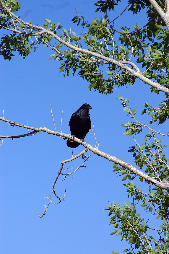 Raven, Grand Teton National Park