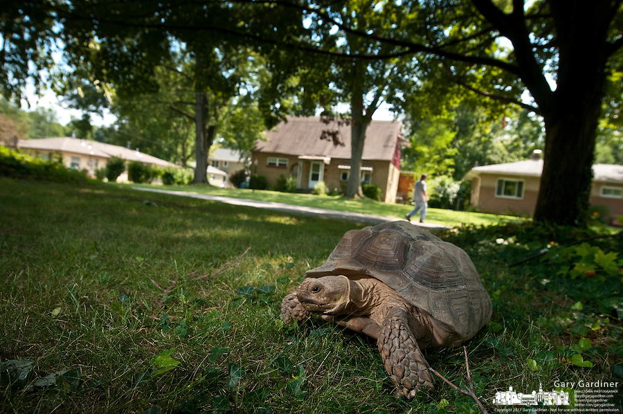 Turtle walking through Uptown Westerville neighborhood