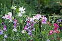 Sweet peas (Lathyrus odoratus), late July. Mostly 'Antique Fantasy Mixed'.