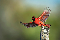 northern cardinal, Cardinalis cardinalis, male taking off, Sinton, Corpus Christi, Coastal Bend, Texas, USA, North America