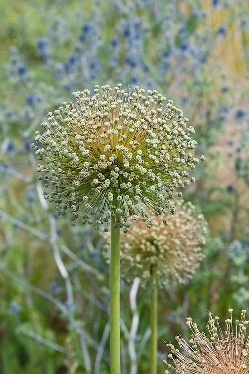 Seed heads of Allium 'Ambassador' against blue Eryngium, mid July.