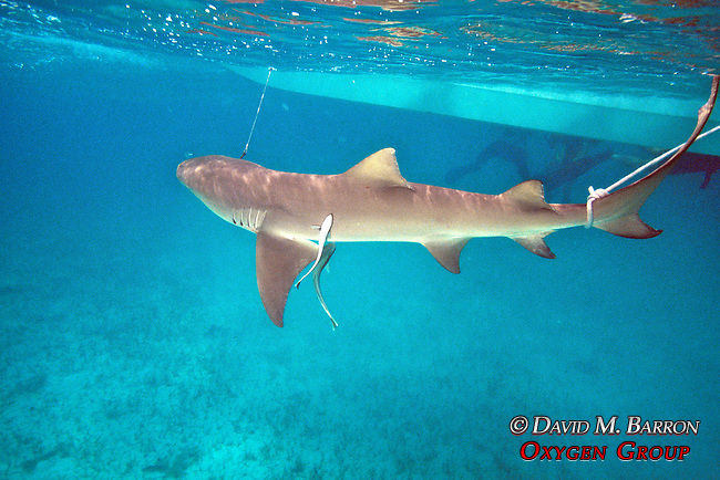 Tagging Lemon Shark