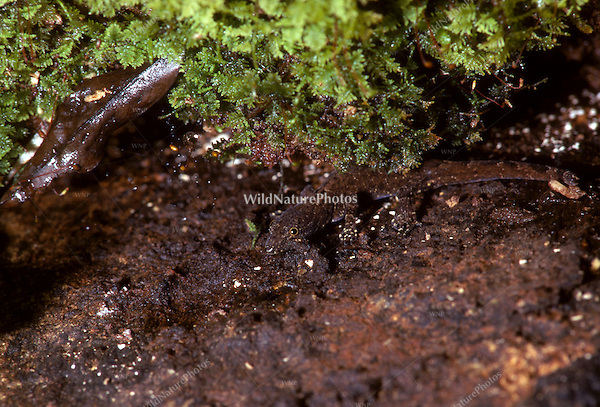 A salamander blends into its environment; Amazonia, Peru