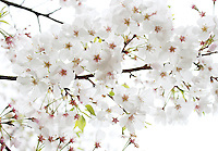 Stock photo: white cherry blossom branch full, looks dreamy against white sky.