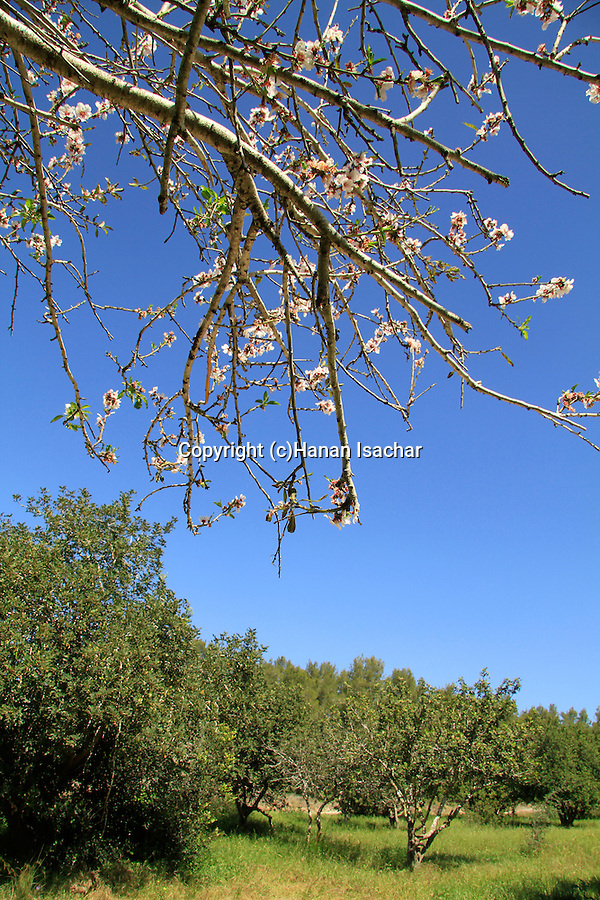 Israel, Shephelah, Almond and Carob trees in Haruvit forest
