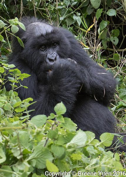 Gorilla Big Ben Rwanda 2015