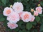 Pink Gruss an Aachen Rose, Rosa hybrid