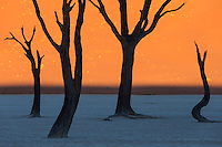 Semi-silhouettes of dead camelthorn acacia trees at the famous Dead Vlei.