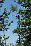Bald eagles near nest in Idaho