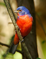 Adult male painted bunting in tree