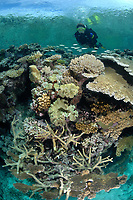 Scuba diver swims over table top portion of coral reef, Coral Sea, Pacific Ocean