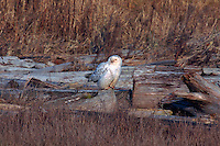Snowy Owl (Bubo scandiacus) Female or Juvenile, sitting on Frost Covered Log at Boundary Bay Regional Park, Delta, BC, British Columbia, Canada - aka Arctic Owl, Great White Owl or Harfang.  Note bloody face, chest feathers, and claws from feeding on hunted prey.