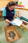 Veterinarian Kathryn Tuxbury With Injured Green Sea Turtle, Welfleet Bay Wildlife Sanctuary / NE Aquarium, Audubon