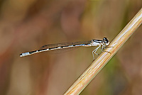 320190008 a wild pale coloration male arroyo bluet damselfly enallagma praevarum perches on a small pond in fort huachuca cochise county arizona united states
